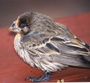 Diseases in Birds